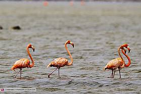 Pink flamingos here in Bonaire